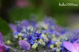 紫陽花の藍